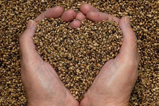 застосування насіння конопель