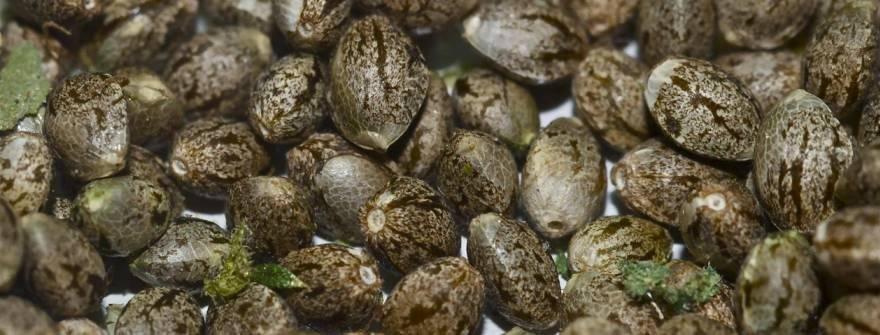 насіння коноплі фото