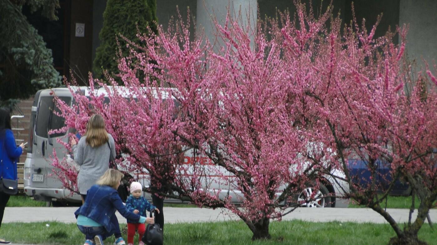 У центрі Хмельницького розцвіли сакури. ФОТО, фото-1