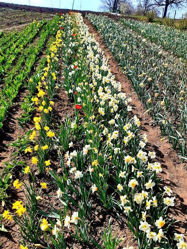 На Хмельниччині з'явилася квіткова долина (фото), фото-3