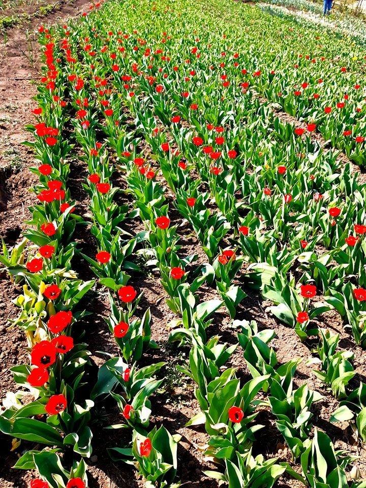 На Хмельниччині з'явилася квіткова долина (фото), фото-4