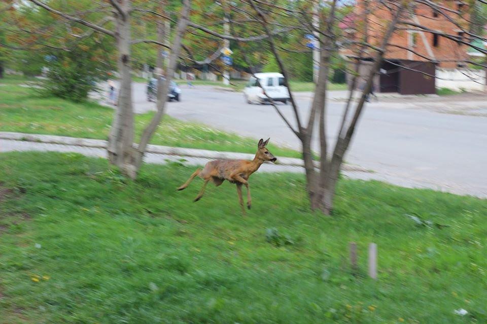 У місті на Хмельниччині на вулиці помітили косулю (Фотофакт), фото-1