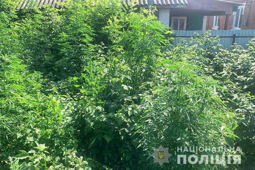 На Хмельниччині поліцейські виявили у 42-річного чоловіка 176 кущів конопель , фото-2